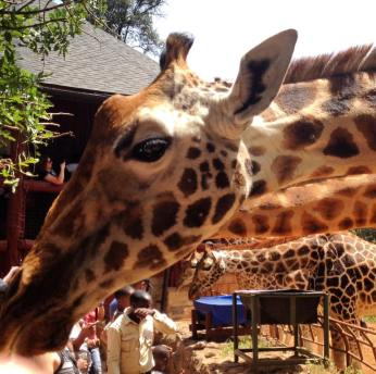 Giraffes at the Giraffe Centre in Nairobi