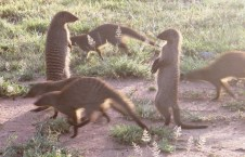 A family of banded mongooses at the campsite in the Serengeti National Park, Tanzania