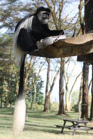 Black and white colobus monkey having breakfast