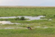 Grey crowned crane with three baby grey crowned cranes in Amboseli National Park, Kenya