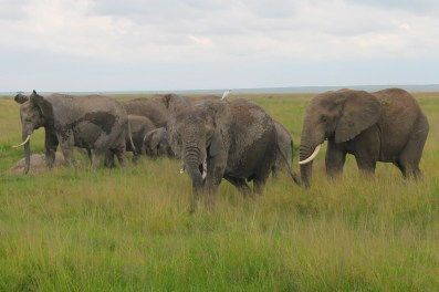 The elephants in Amboseli National Park, Kenya