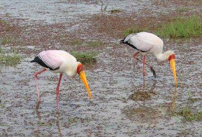 Yellow billed storks in Amboseli National Park, Kenya