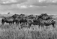 Herd of Zebras in the Serengeti, Tanzania