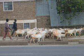 Goat herder in central Nairobi