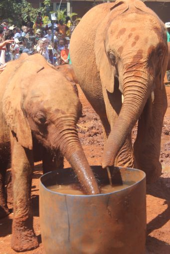 Elephants at the the David Sheldrick Wildlife Trust in Nairobi