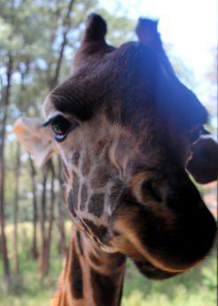 Giraffe at the Giraffe Centre in Nairobi