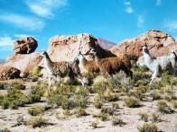 Llamas in the Atacama desert in Bolivia