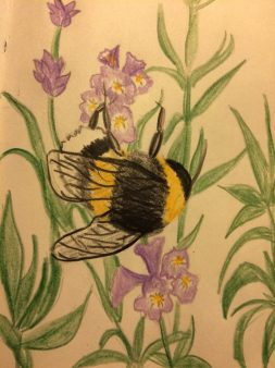 Coloured pencil sketch of a bee on lavender