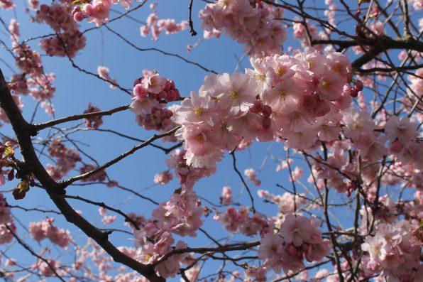 Blossom in Kungsträdgården