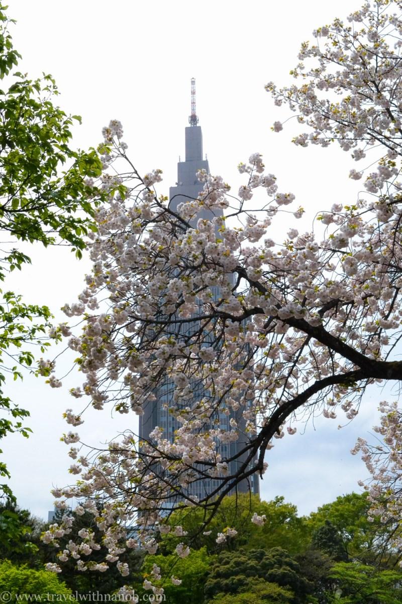 yaezakura-cherry-blossom-30