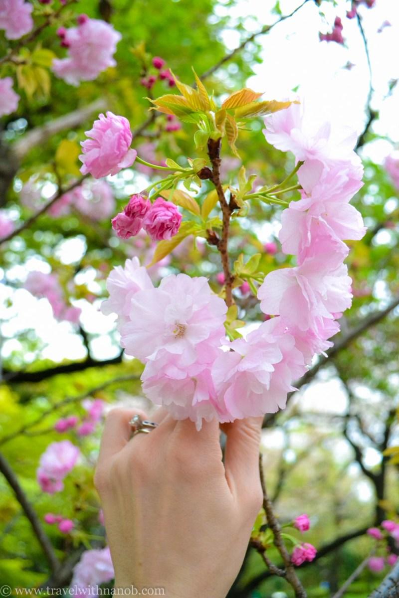yaezakura-cherry-blossom-4
