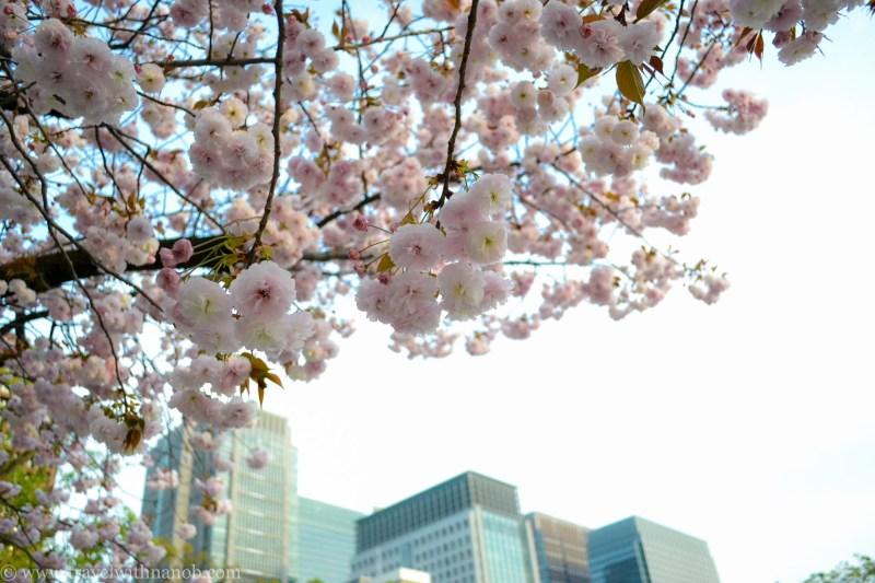 yaezakura-cherry-blossom-42