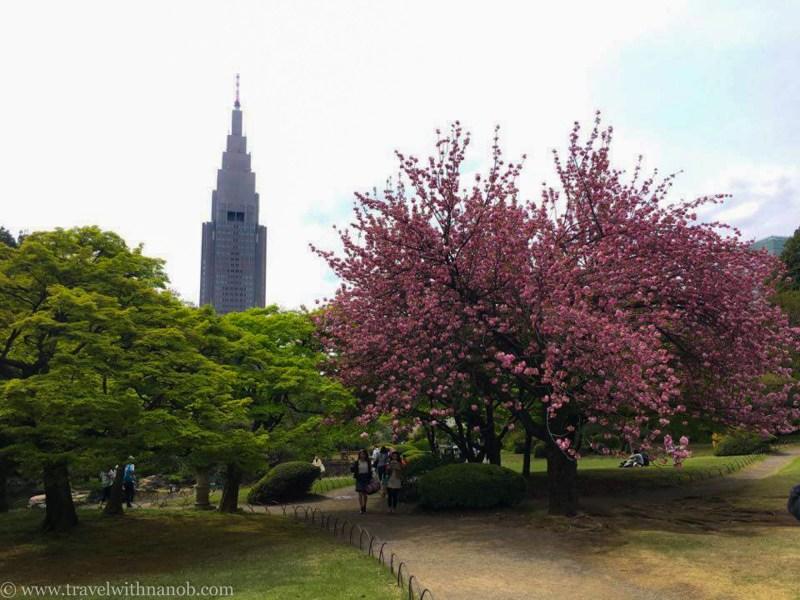 yaezakura-cherry-blossom-46