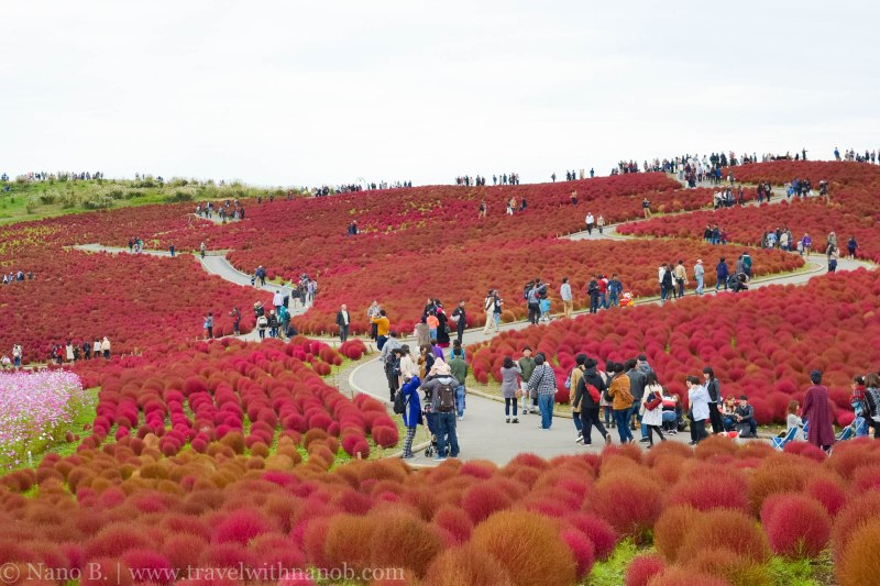 kochia-hitachi-seaside-park-22