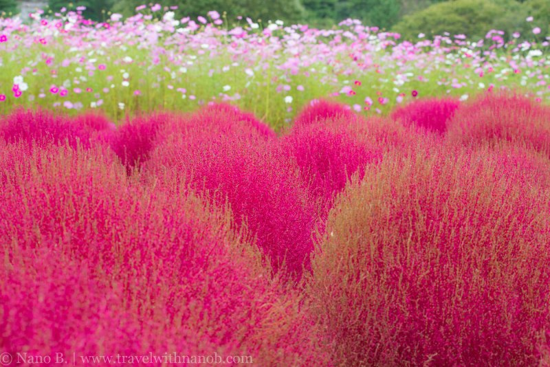 kochia-hitachi-seaside-park-8