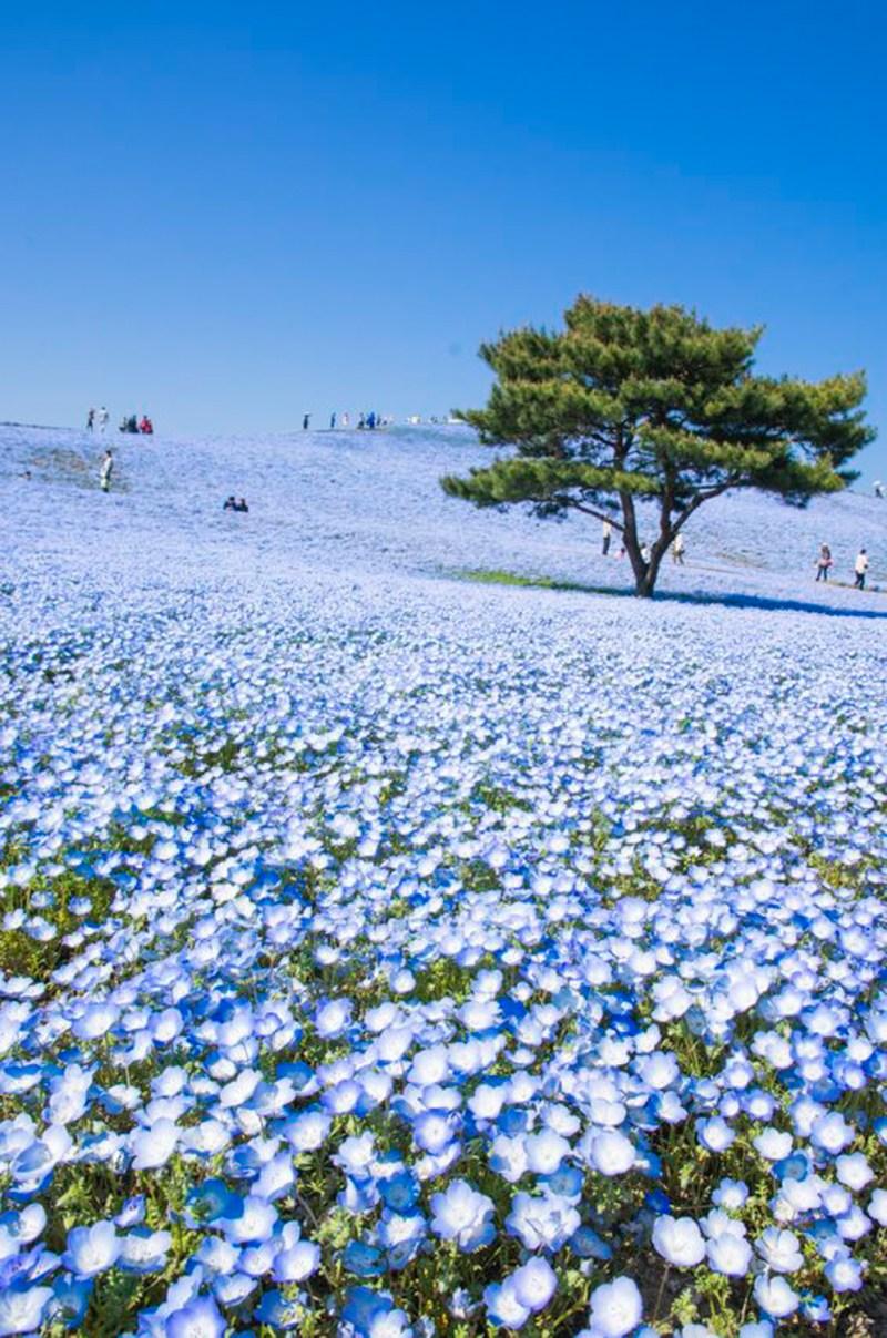 japan-flower-festivals-14