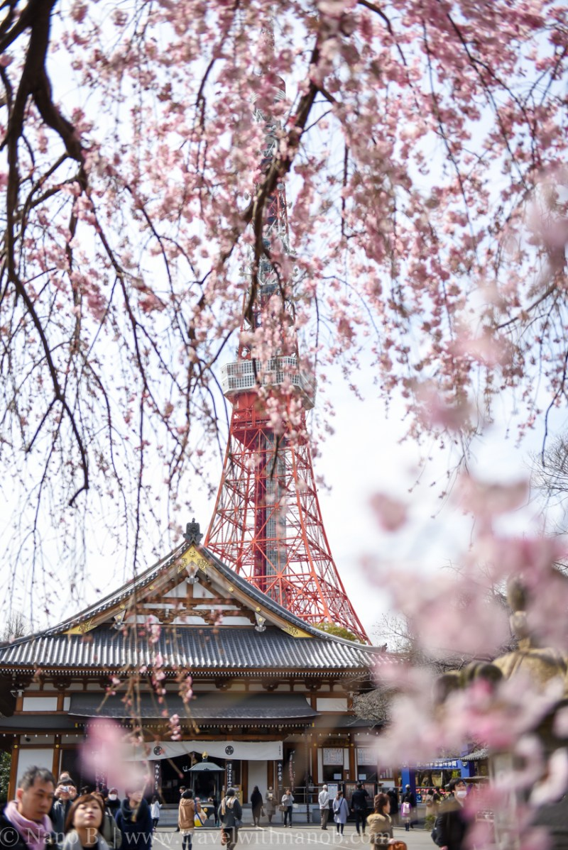 cherry-blossom-tokyo-21
