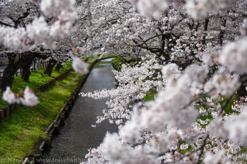 Kawagoe-Cherry-Blossom-20