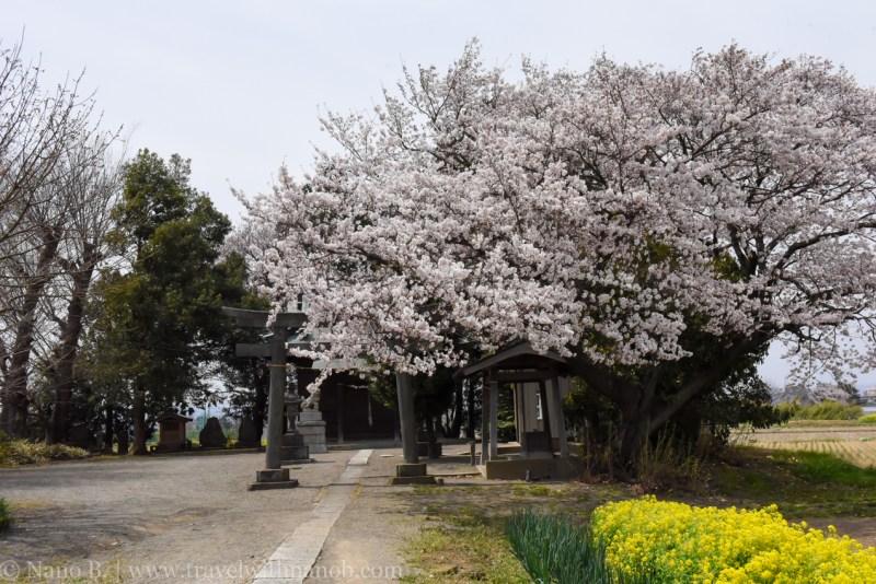 Kawagoe-Cherry-Blossom-3