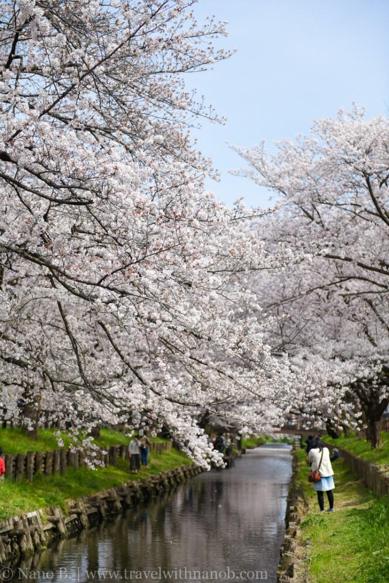 Kawagoe-Cherry-Blossom-44