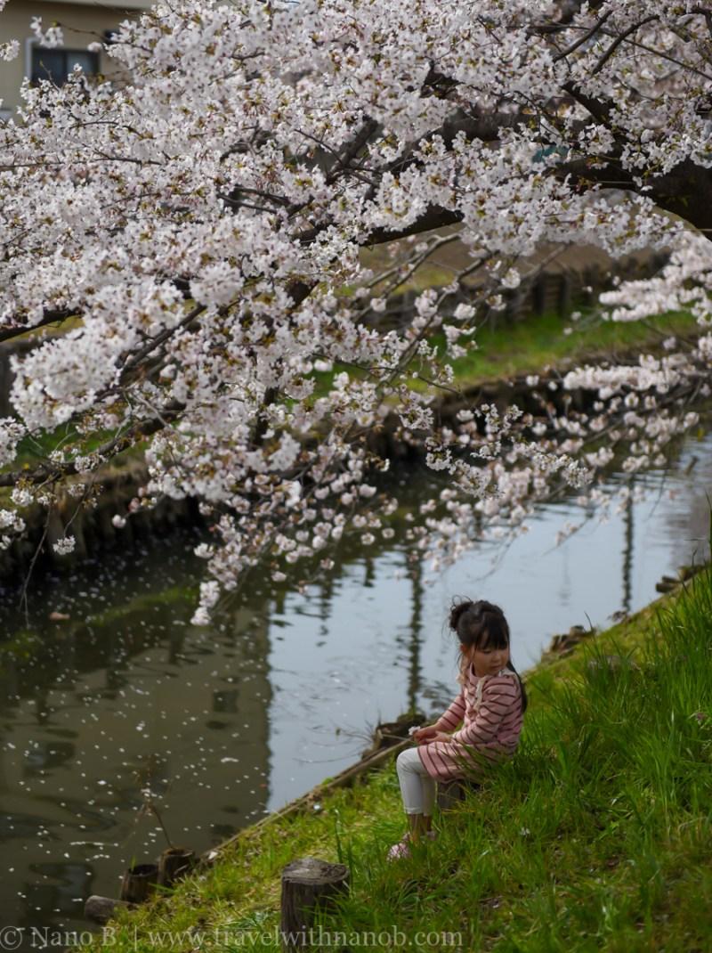 Kawagoe-Cherry-Blossom-47