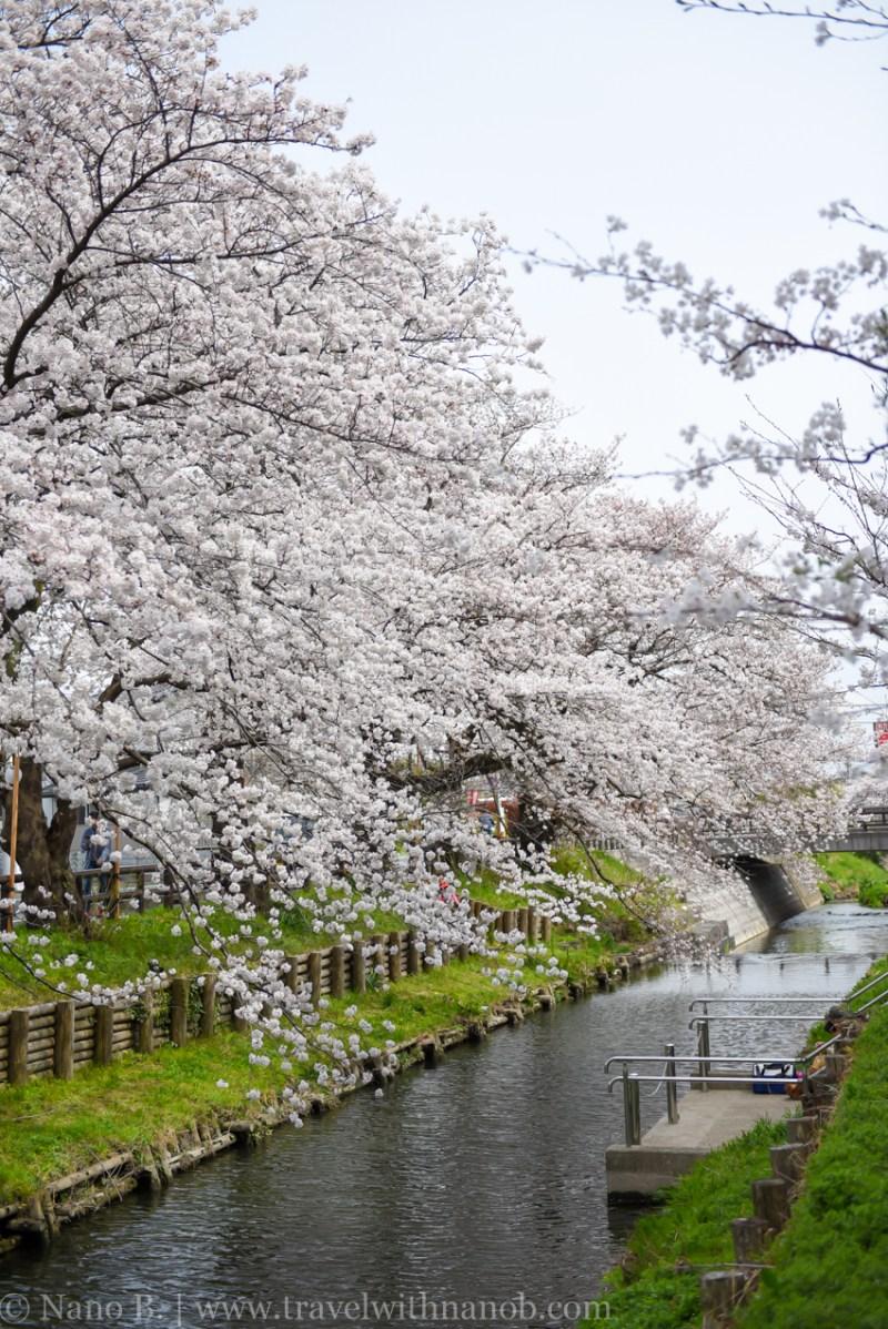 Kawagoe-Cherry-Blossom-9