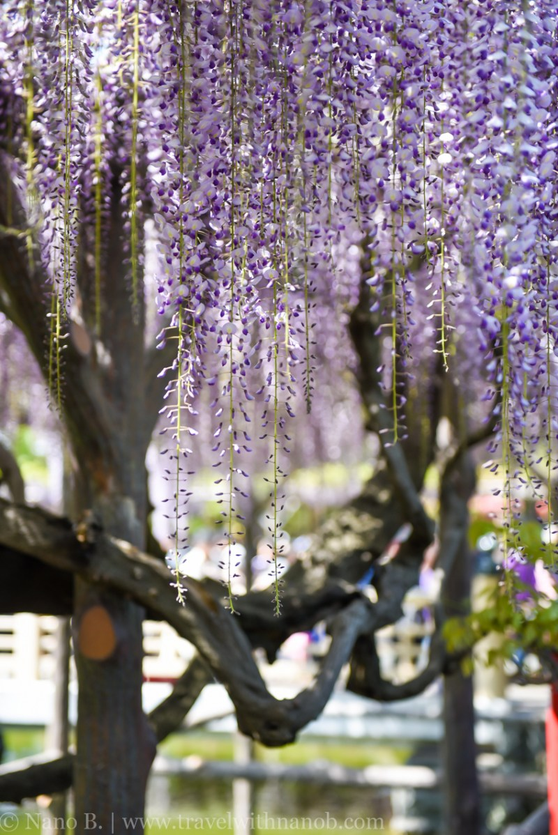 wisteria-in-kameido-tenjin-13