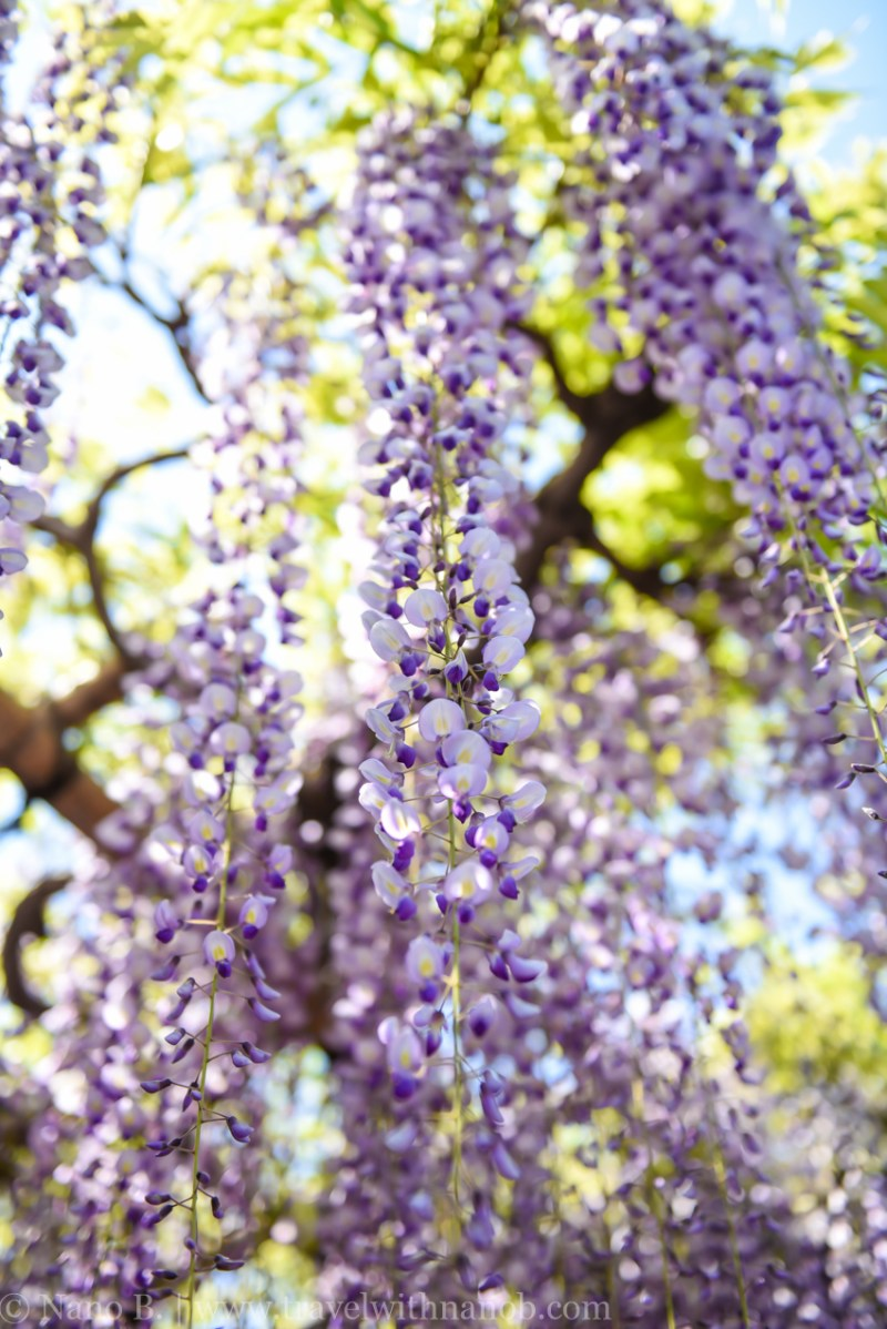 wisteria-in-kameido-tenjin-17