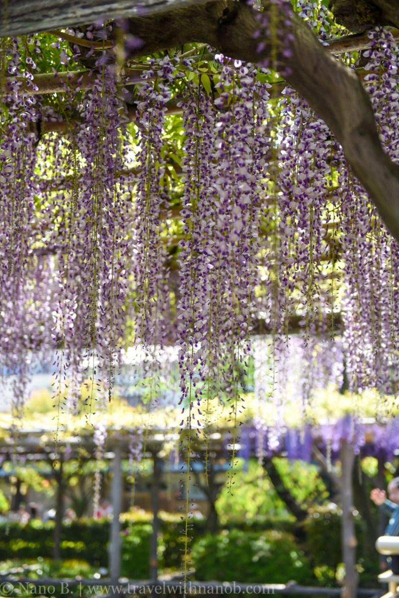 wisteria-in-kameido-tenjin-20