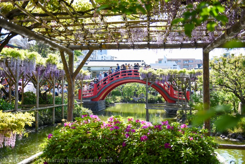 wisteria-in-kameido-tenjin-41