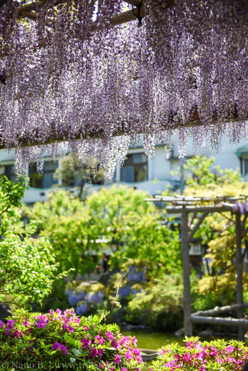 wisteria-in-kameido-tenjin-9