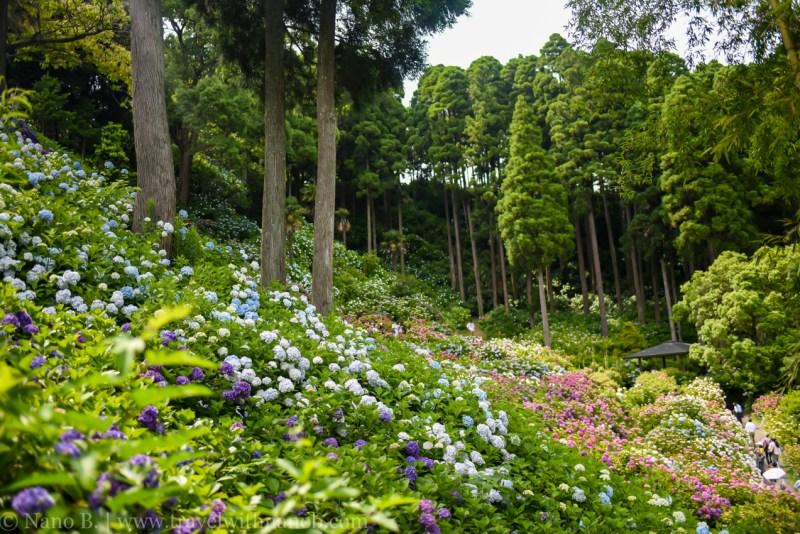 chiba-hydrangea-garden-15
