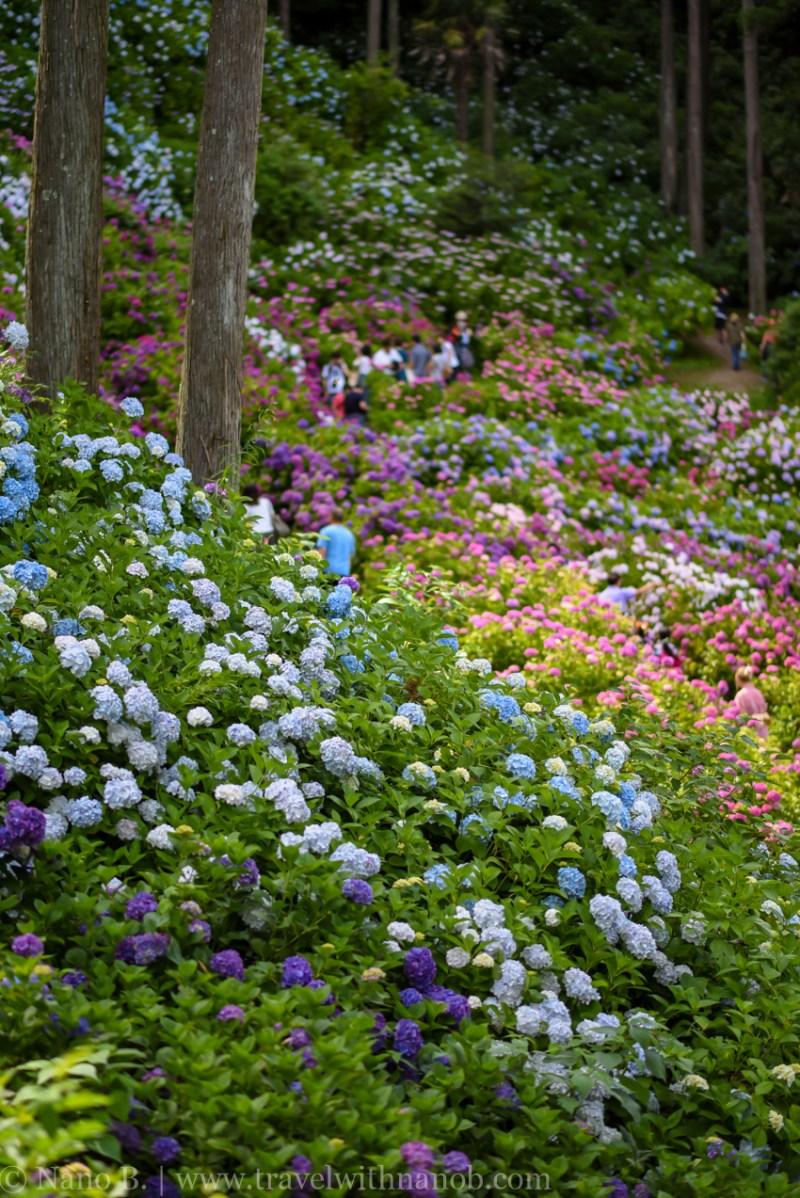 chiba-hydrangea-garden-17