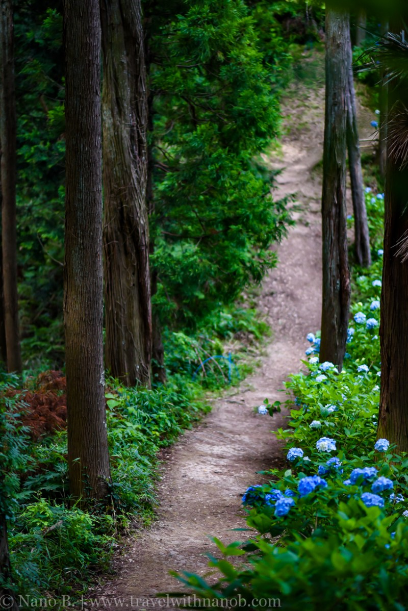 chiba-hydrangea-garden-25