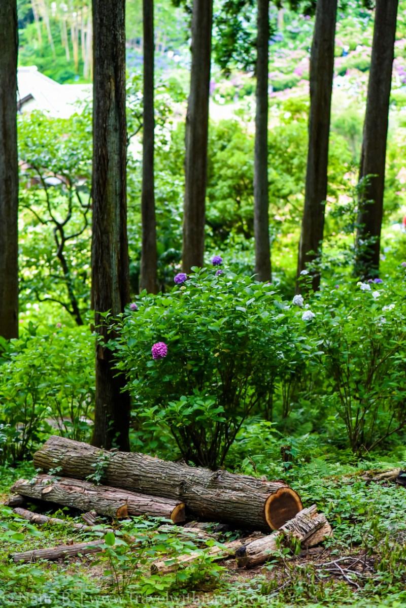 chiba-hydrangea-garden-28