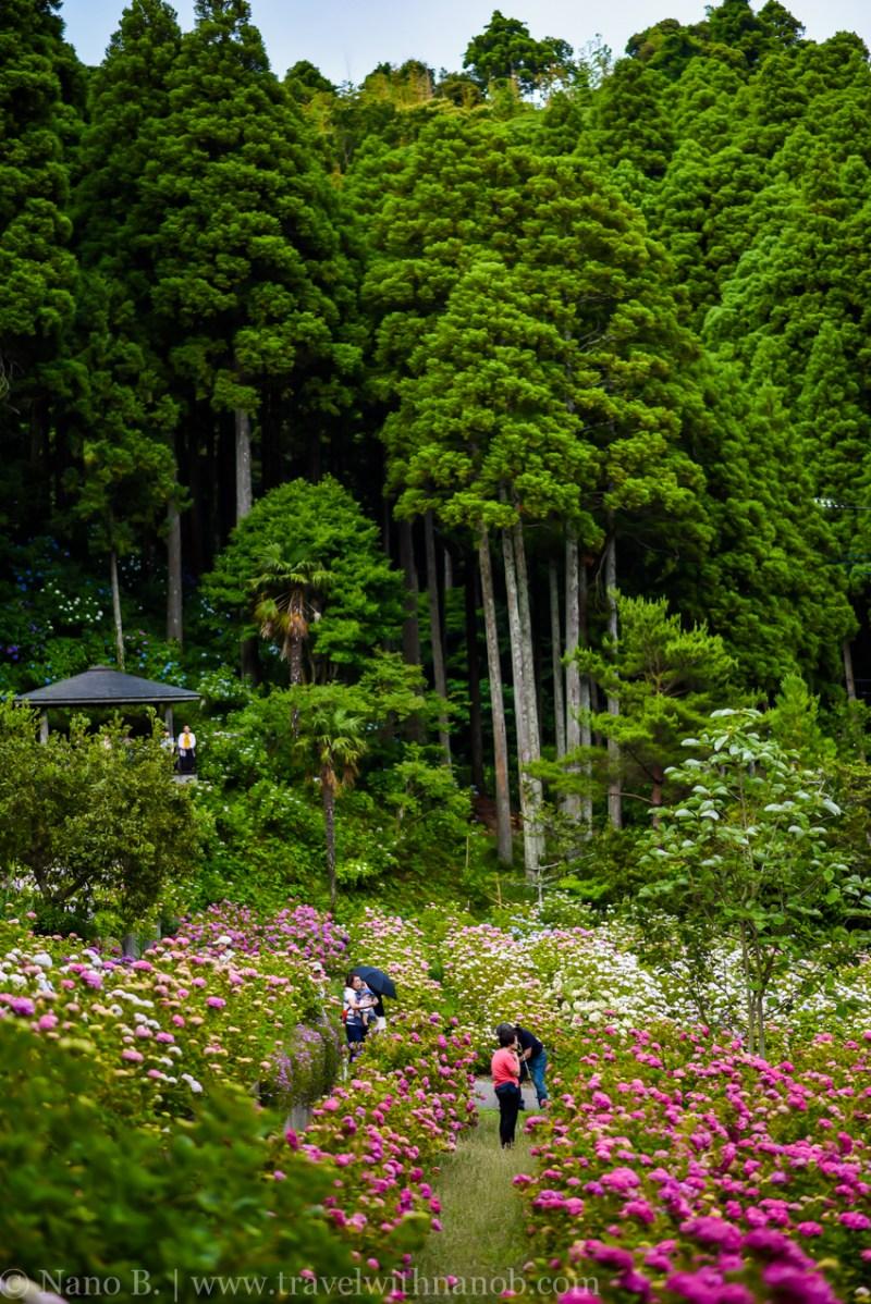 chiba-hydrangea-garden-37