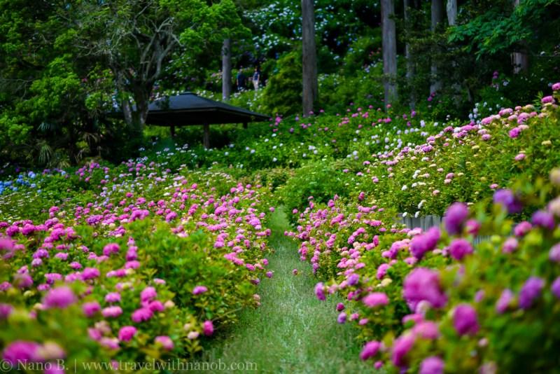 chiba-hydrangea-garden-41