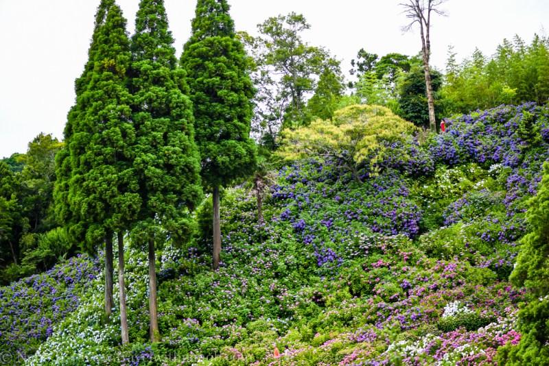 chiba-hydrangea-garden-43