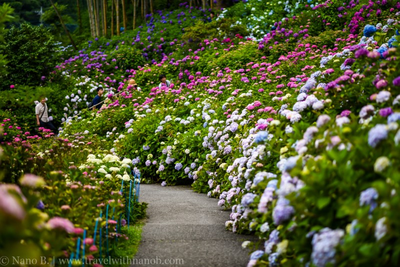chiba-hydrangea-garden-47