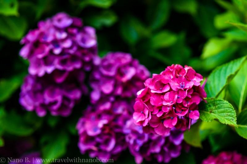 chiba-hydrangea-garden-61