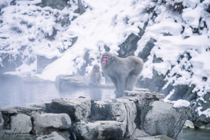 japanese-snow-monkeys-jigokudani-nagano-22