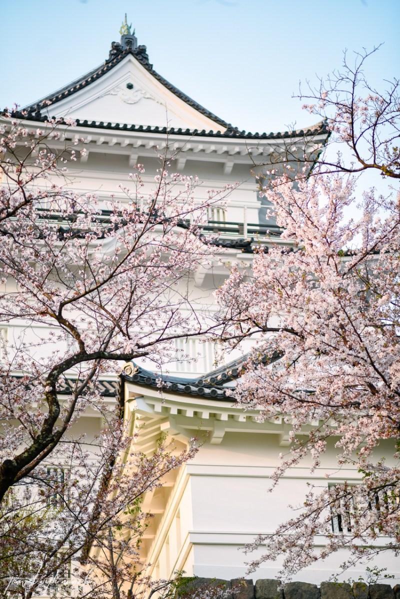 cherry-blossoms-odawara-16
