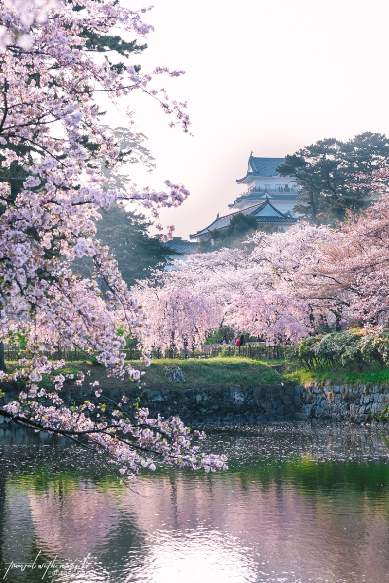 cherry-blossoms-odawara-6
