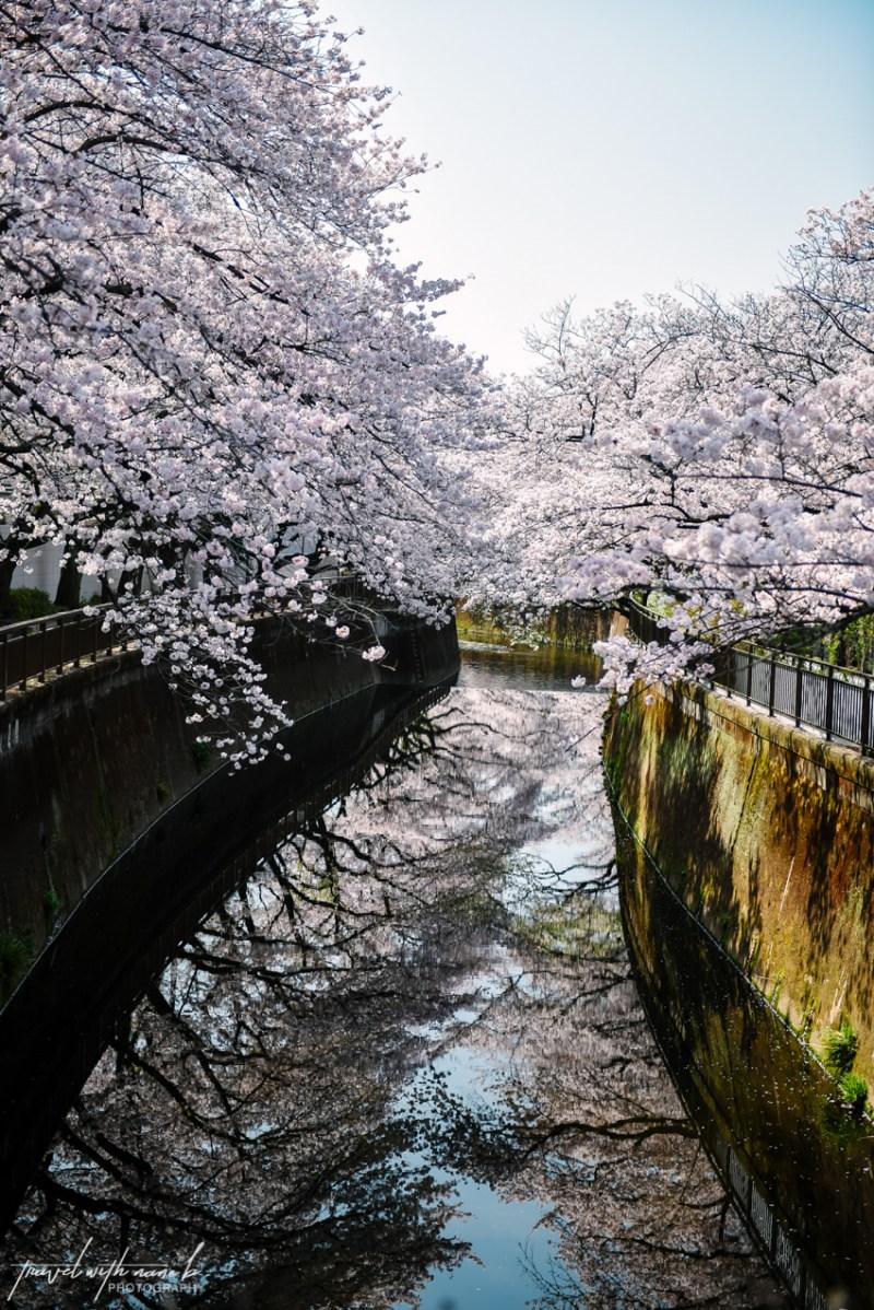 cherry-blossoms-tokyo-16