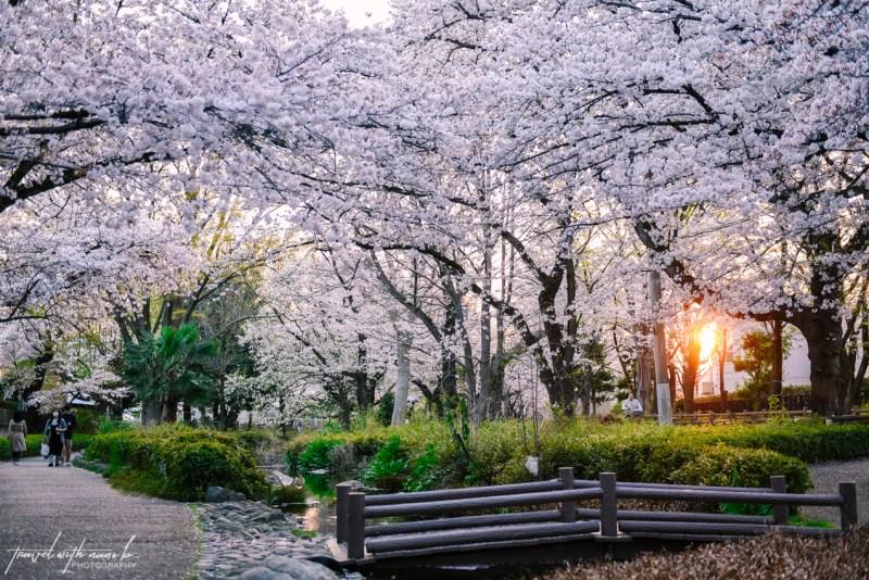 cherry-blossoms-tokyo-37