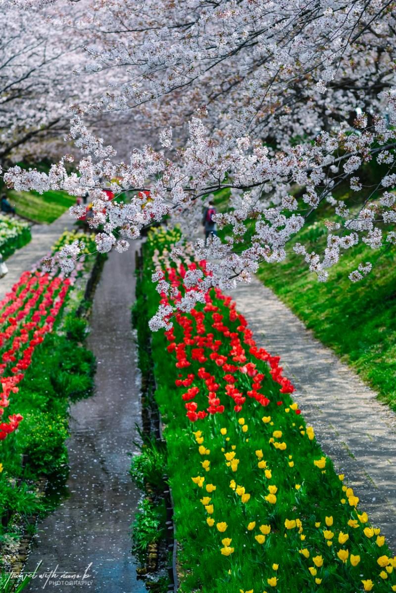 cherry-blossoms-yokohama-12