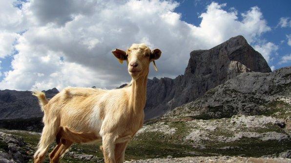 Asturian goat