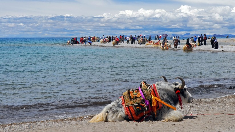 Yak next to Qinghai Lake on the journey to Tibet