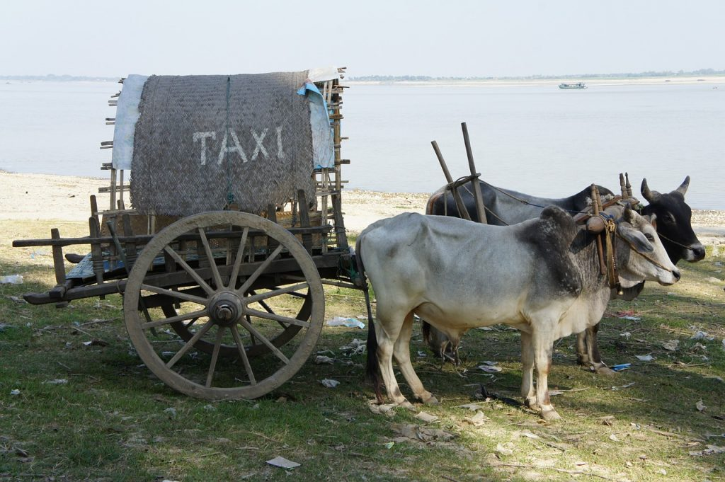 Beware transportation tourist scams. Two oxen pulling a cart with a taxi sign on it.