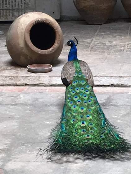 Peacock in Havana mosque